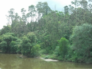 Flying foxes in the trees along the river
