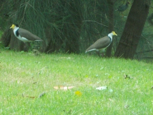 Masked lapwings (plovers)