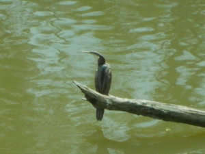 Greater cormorant (slang: a big shag)