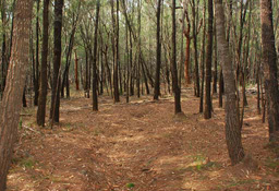 Casuarina forest. The trees grew closer together in our forest.